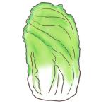 冬には欠かせない!白菜のフリーイラスト
